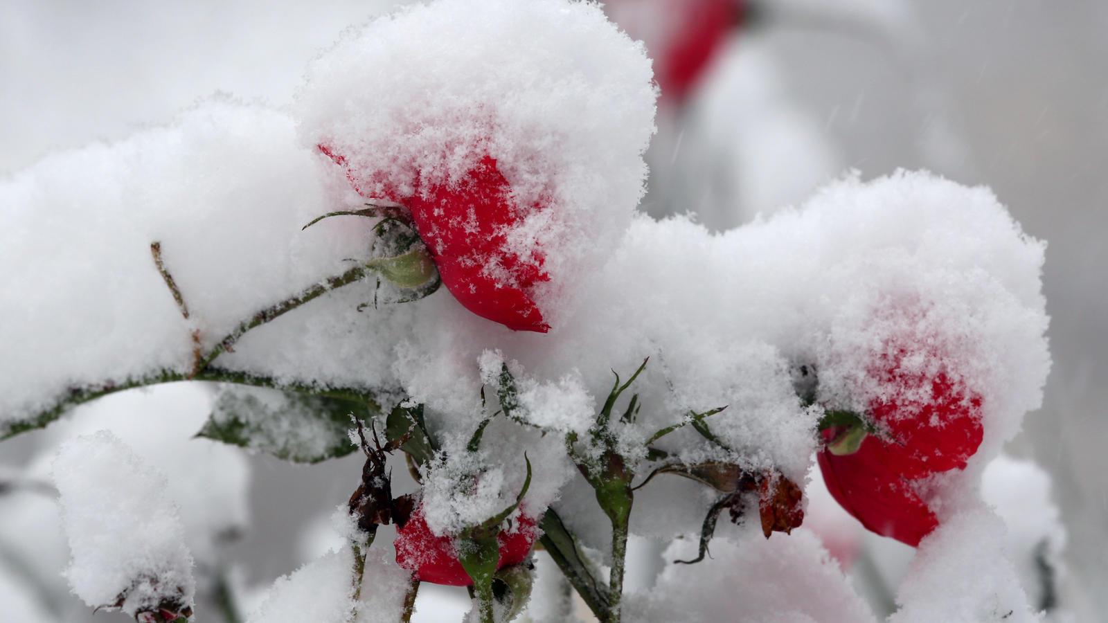 k belpflanzen berwintern so machen sie rosenhochstamm co frostsicher. Black Bedroom Furniture Sets. Home Design Ideas