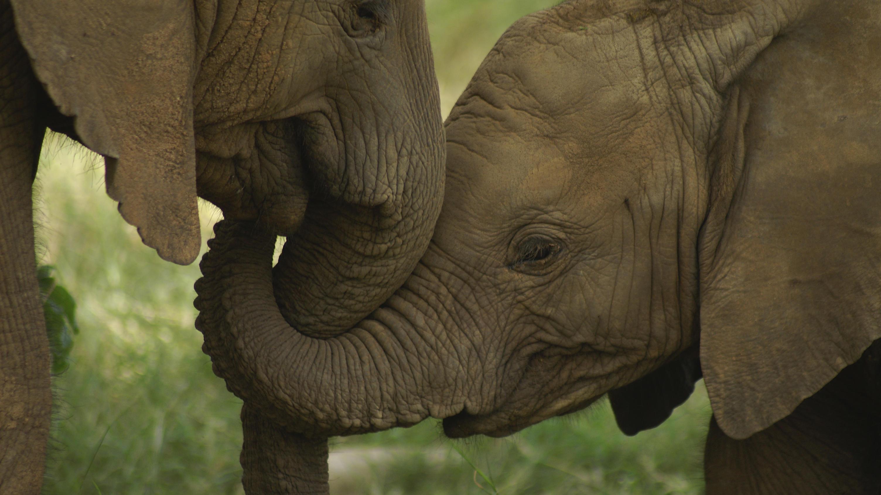 Elefanten Stoßzähne