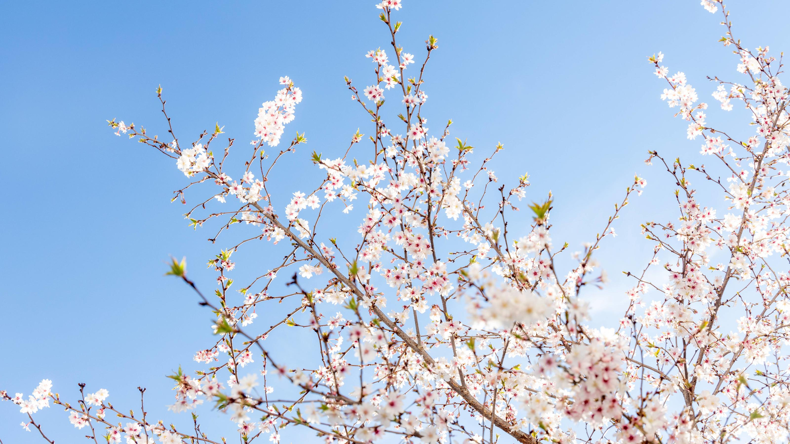 Sonniges Frühlingswetter 22.03.2019, Oberursel (Hessen): Eine Zierkirsche blüht bei Sonnenschein vor blauem Himmel., Oberursel Deutschland *** Sunny spring weather 22 03 2019 Oberursel Hessen An ornamental cherry blossoms in sunshine against a blue s