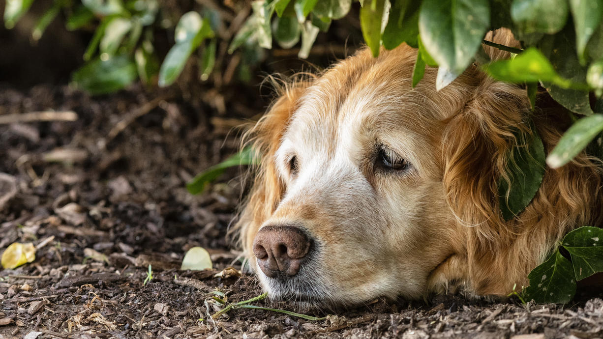 Puh, was für Temperaturen! Die Hitze macht nicht nur uns Menschen zu schaffen, sondern auch unseren Haustieren. So erkennen Sie einen Hitzschlag.