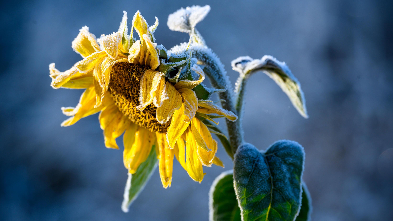 Der besondere Garten-Tipp: So werden Sonnenblumen besonders groß Einfach