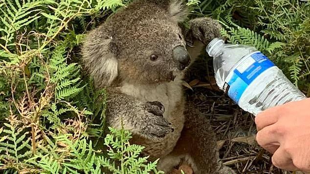 Koala Wasser