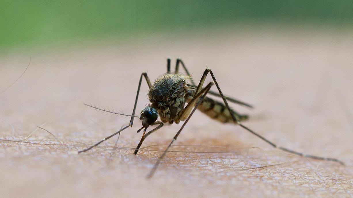 Schweiß, Licht, Kleidung: Worauf fahren Stechmücken wirklich ab - und worauf nicht? Wir räumen mit den sieben größten Mythen auf.