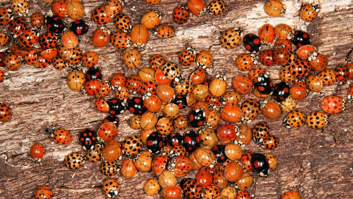 Haben Sie die gepunkteten Glücksbringer auch schon entdeckt? In großen Schwärmen sitzen Marienkäfer im Herbstauf Balkongeländern, an Hauswänden oder Pflanzen.  Siebenpunkt oder Asiatischer Marienkäfer - so unterscheiden sie sich.