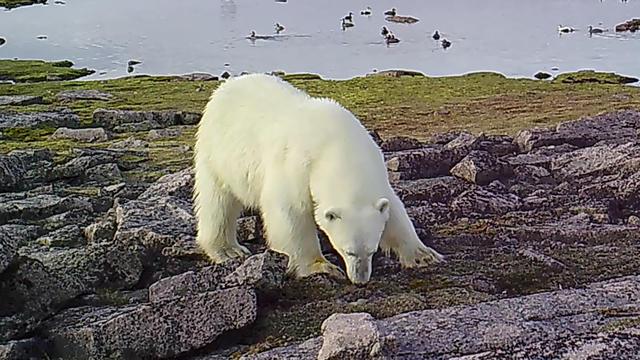 Den Eisbären gehen die Robben als Nahrung aus. Denn die jagen und fangen sie auf dem arktischen Eis, das zusehends dahinschmilzt. Andere Leckerbissen müssen her. Die Eier von Gänsen und Enten scheinen den Eisbären auch gut zu schmecken.