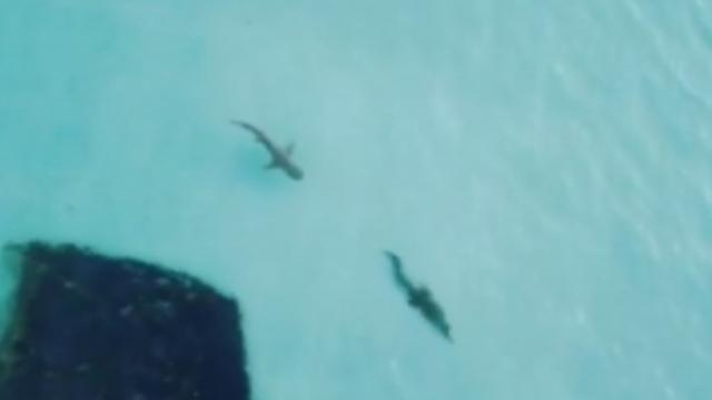 Spektakuläre Bilder vor der Küste Australiens. Ein Tigerhai pirscht sich an ein Krokodil ran um das Reptil zum Kampf aufzufordern.