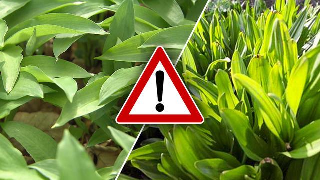 Ein Mann aus Münster verwechselte Bärlauch mit der giftigen Herbstzeitlose und stirbt. Die beiden Pflanzen sehen sich verblüffend ähnlich. So erkennen Sie den Unterschied.