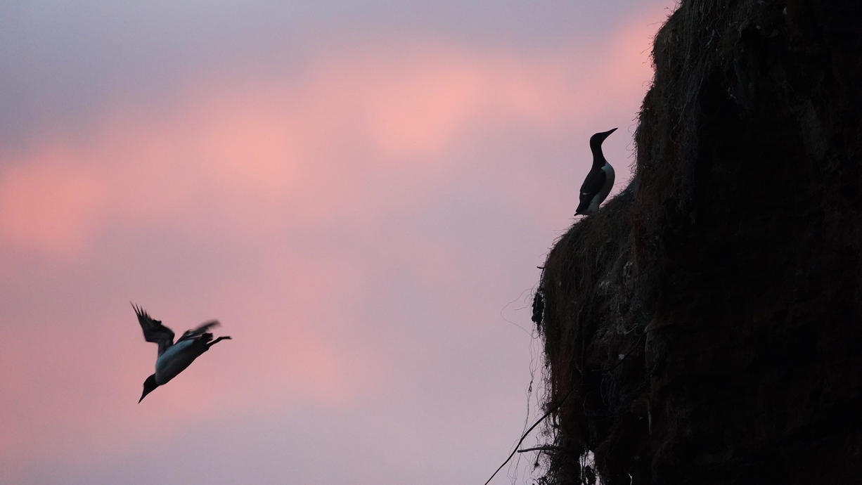Jedes Jahr Mitte Juni beginnt auf Helgoland ein unvergleichliches Spektakel: Etliche Trottellummenküken springen vom Lummenfelsen rund 40 Meter tief zu ihren Eltern ins Wasser. Danach gibt es erstmal kein Zurück mehr.