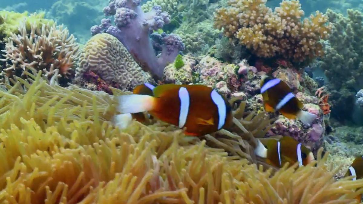 Klima Update mit Christian Häckl: Sind die Korallen vor Australien noch zu retten?