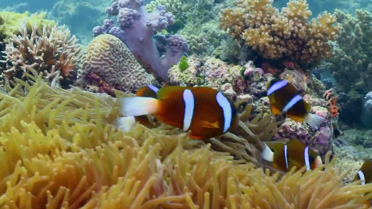 Das Great Barrier Reef ist immer häufiger von Korallenbleichen betroffen. Eine Hauptursache dafür sind die steigenden Temperaturen der Ozeane.