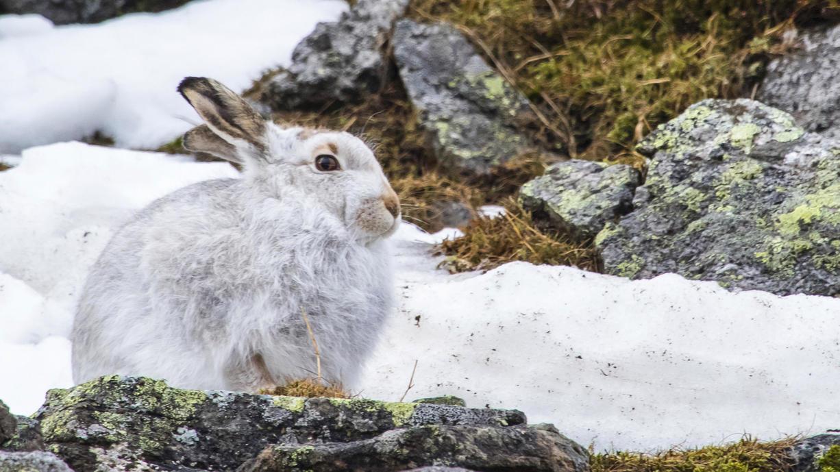 Der Klimawandel rückt jetzt einem ganz berühmtem Schneefeld in den Schottischen Highlands auf den Pelz. Die Sphinx, so der Name des zähen Flecken Schnees, schmilzt eigentlich auch im Sommer nie komplett. Gerade gibt es nur einen kläglichen Rest.
