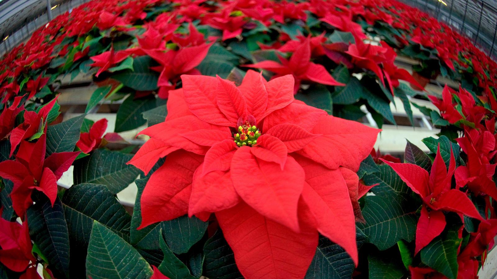 pflege tipps f r weihnachtssterne so halten die pflanzen besonders lange. Black Bedroom Furniture Sets. Home Design Ideas