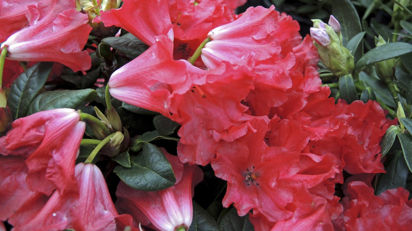 rhododendron d ngen kaffeesatz ist ein top d nger