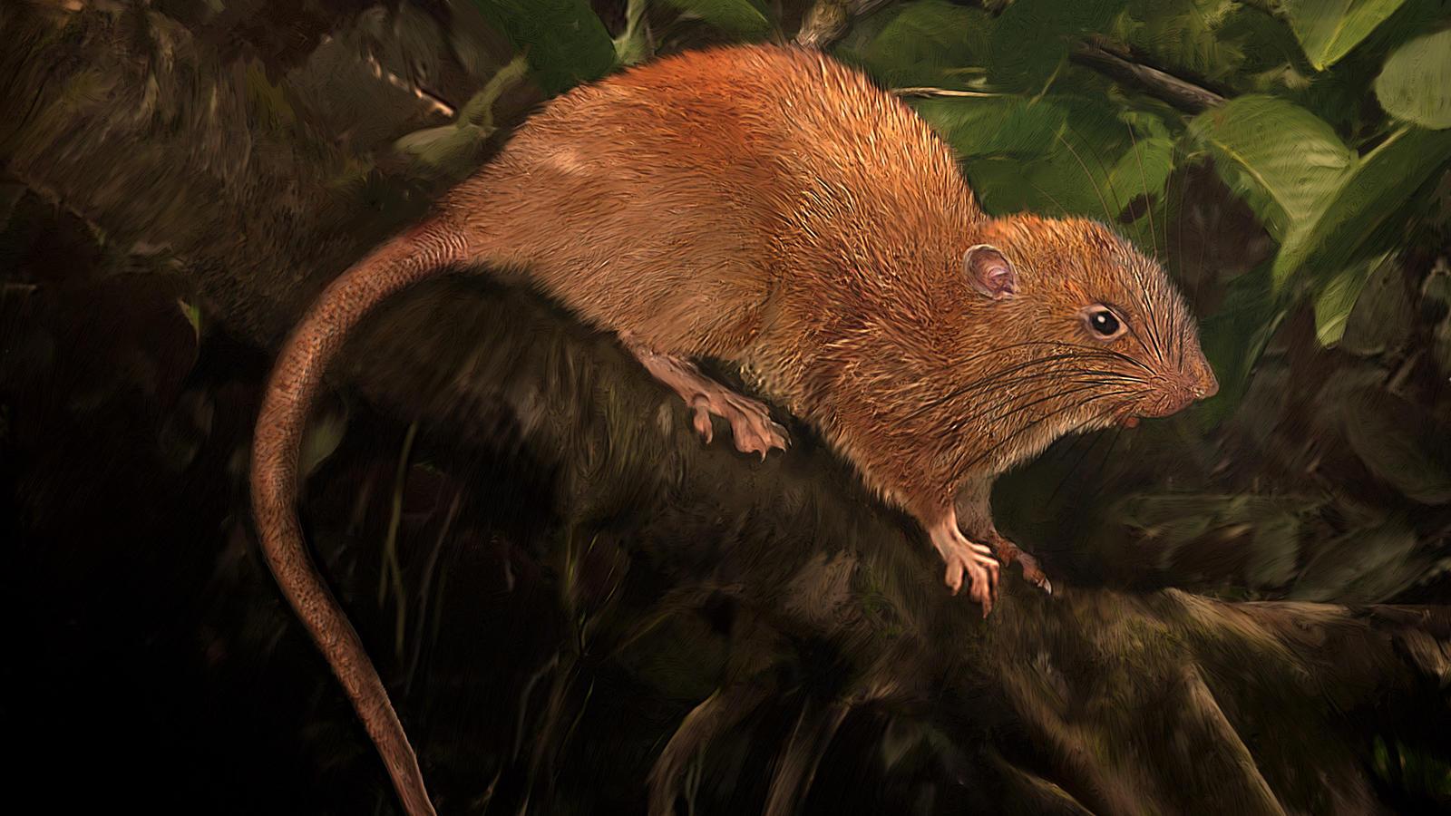 Uromys Vika Neue Riesige Rattenart Entdeckt Wetterde
